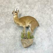23745 P | African Klipspringer Life-size Taxidermy Mount