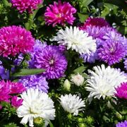 Aster Crego Giant Flower Seeds Packet 1 Gram Usa Pink Purple White Red Colors