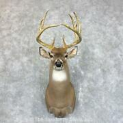 23853 P | Whitetail Deer Taxidermy Shoulder Mount For Sale