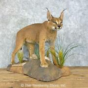 23973 E+ | African Caracal Life-size Taxidermy Mount For Sale