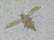 1.8 Rare Winged Flying Insect Fossil Upper Jurassic Age Solnhofen Fm Germany