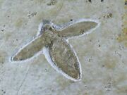 1.1 Rare Winged Flying Insect Fossil Upper Jurassic Age Solnhofen Fm Germany