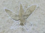1.5 Rare Winged Flying Insect Fossil Upper Jurassic Age Solnhofen Fm Germany