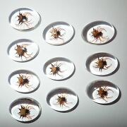 Insect Cabochon Spiny Spider Specimen Oval 18x25 Mm Clear 100 Pieces Lot