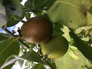 Black Sapote Seeds Freshly Picked Seeds From 2020 Florida Crop Diospyros Nigra