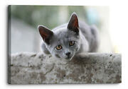 British Shorthair Kitten Looking Into Camera Canvas Wall Art Picture Home Decor