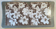 Lilies In Full Bloom – Stereoview Slide – Vintage Collectible Photograph – 1901