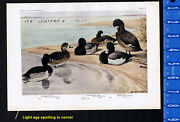Ring-necked Duck Scaup Duck And Lesser Scaup Duck - 1936 Fuertes Bird Print