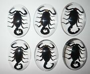 Insect Cabochon Black Scorpion Specimen Oval 30x40 Mm Clear 50 Pieces Lot
