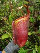 Nepenthes Palawanensis-seed Grown Be 4013 Updated Pictures