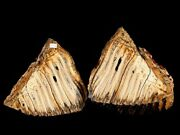 Russian Woolly Mammoth Tooth