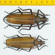 Long Horn Beetle - Prioninae Sp Pair, Male 82mm, Female 77mm - Malaysia - 4789