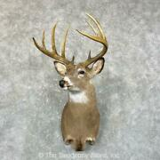 24658 P+ | Whitetail Deer Taxidermy Shoulder Mount For Sale