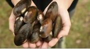 Live Freshwater Mussels 12+