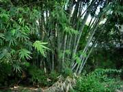 Dendrocalamus Strictus Male Bamboo, Dolid Bamboo 100, 300, 1000 Seeds