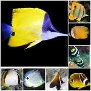 Butterfly Fish Assorted 6lot - Live Saltwater Aquarium Free Shipping
