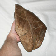 Triceratops Frill With Lots Of Veins Cretaceous Hellcreek Formation Dino Fossil