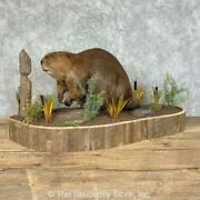 25223 P+   North American Beaver Taxidermy Mount For Sale