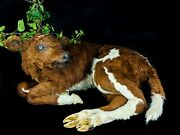 Br54 Taxidermy Oddities Curiosities Large Calf Cow Natural Death Collectible