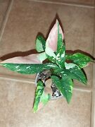 Syngonium Red Spot Tricolor Rare Hard To Find