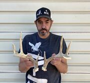 Mini Set Wild Whitetail Deer Sheds Antlers Taxidermy Mount Cabin Decor Buck Horn