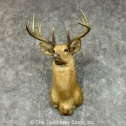 25423 E | Buff Whitetail Deer Taxidermy Shoulder Mount For Sale