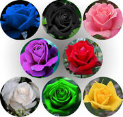 Rose Seeds, Many Different Colors