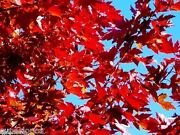 Seed Sugar Maple Tree Seeds Canada Acer Grow Fast Andeacuterable Bonzai Red Comb S/h Gif