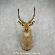 17367 E | African Waterbuck Shoulder Taxidermy Head Mount