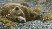 Robert Bateman Limited Edition Giclee Canvas Grizzly Bear At Rest Signed Art
