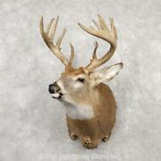 18770 P+   Whitetail Deer Taxidermy Shoulder Mount For Sale