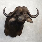 20036 P+ | African Cape Buffalo Taxidermy Shoulder Mount For Sale