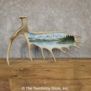 20109 P | Painted Moose Antler Taxidermy Mount For Sale