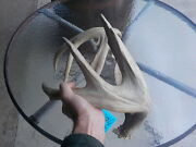 2 Massive Bladed Heavy Wild 4 Pt Shed Whitetail Deer Antlers Wedding Horn 84
