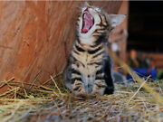 Kitten Yawning Laughing Cute Funny Cat Vibrant Poster Print Paper Or Wall Vinyl