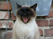 Siamese Funny Yawning Kitten Laughing Cat Cute Poster Print Paper Or Wall Vinyl