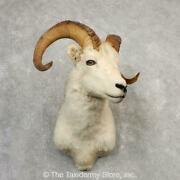 21105 N | Dall Sheep Taxidermy Shoulder Mount For Sale