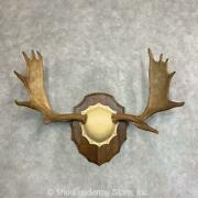 21934 P | Moose Antler Taxidermy Plaque For Sale