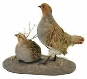 Taxidermy Partridge Hungarian Mount Decorative Handsome Decor