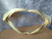 Vintage Taxidermy Hunting Shark Taxidermie Jaw Teeth Mouth