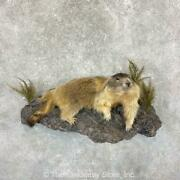 22383 Wc | Yellow-bellied Marmot Life-size Taxidermy Mount For Sale