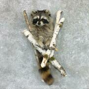 22464 E+ | Raccoon Half Life-size Taxidermy Mount For Sale