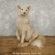 18786 E | Amber Fox Taxidermy Mount For Sale