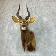 22848 E | African Nyala Shoulder Taxidermy Head Mount - Antlers Horns