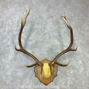 23103 E+ | Rocky Mountain Elk Plaque Taxidermy Mount For Sale