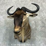 23138 P   African White-bearded Wildebeest Taxidermy Shoulder Mount For Sale