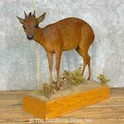 23310 P | Red Duiker Life-size Taxidermy Mount For Sale