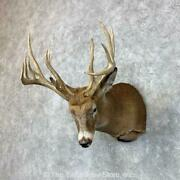 23488 E+   Whitetail Deer Taxidermy Shoulder Mount For Sale