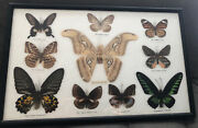 Real Butterfly Taxidermy Framed Picture Collectible The Atlas Mothtrogonatera