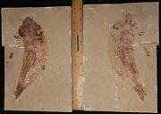 Ornategulum 05 - Excellent Color Preservation - Fossils Directly From Lebanon